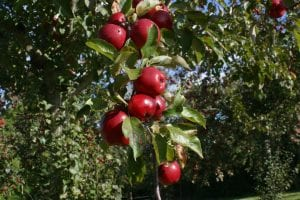 12 ripe red apples on a stem of green leaves with fly on one apple in an apple orchard in Somerset on a cider farm taken in Autumn 2018, in the background other trees laden with red ripe apples apper. 1st Financial Group Somerset Advisers