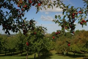 Circle of red apples heavy in fruit overlooking off year of apple orchard on a Somerset cider farm (Autumn 2018) 1st Financial Group
