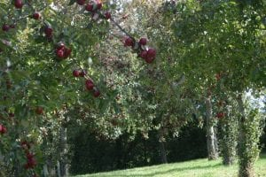 Red apples on stem on Somerset Cider Farm in heavy in fruit with red apples 1st Financial Group Somerset Advisers