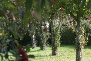 Apple trees heave in fruit with red apples in an apple orchard on a cider farm in central Somerset - Somerset Mortgage Advisers