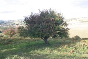 Single green berry tree in fruit with red berries in overlooking rolling countryside in England Autmn 2018 - 1st Financial Group South West Advisers 1